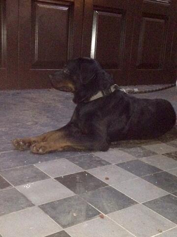 Stud Service Pacak Pejantan Rottweiler, Cari Jodoh Betina