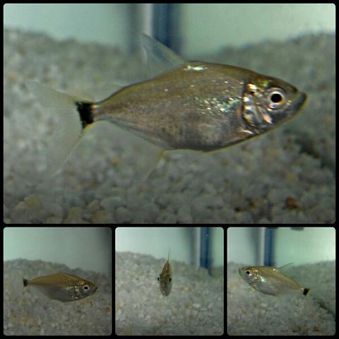 Wimple Piranha