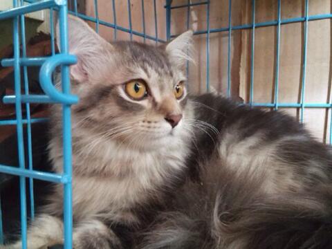 Terjual Jual Anakan Kucing Maine Coon Murah Kaskus