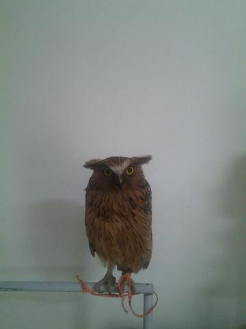 [WTS] burung hantu buffy fish owl