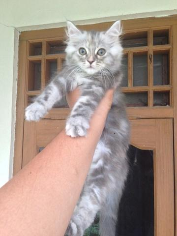 jual 2 kucing mainecoon mix rp.1.300.000