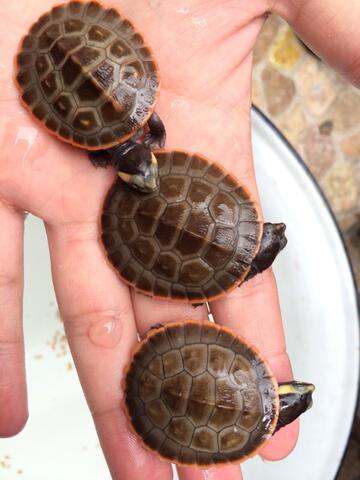 dada merah turtle warna cerah