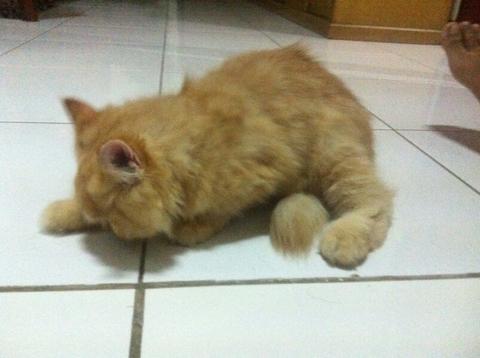 Jual Santai Kucing Kitten Persia