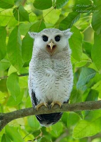 WTB Owl/Burung Hantu Yogyakarta/Jogja dam sekitarnya