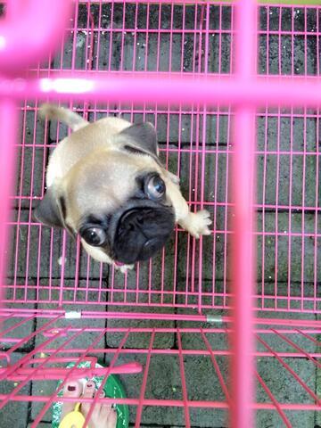 anjing pug
