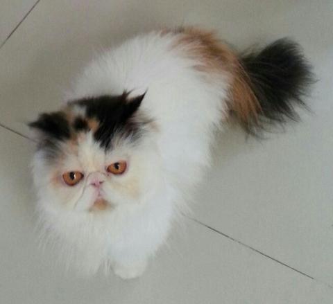 Kucing Persian Betina Proven 2 Thn ( Anakan Import )