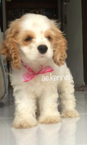 Anak Anjing Puppy American Cocker Spaniel Party Color Female Bandung