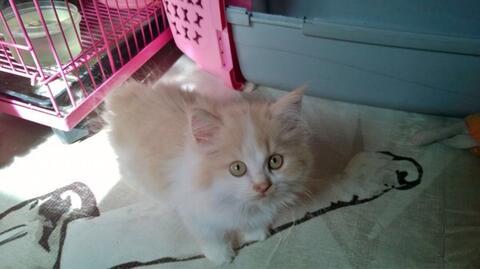 Terjual Jual Anak Kucing Kitten Persia Lucu Murah