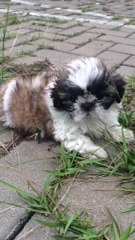 Terjual Anjing Mini Shih Tzu Puppy Kaskus
