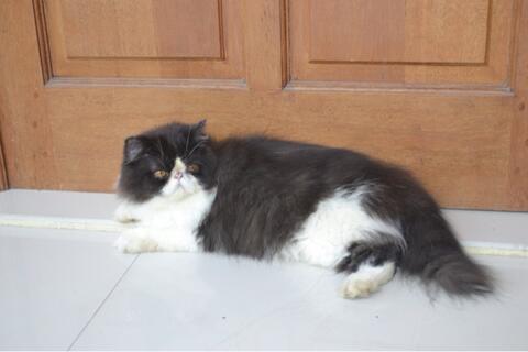 Download 80+  Gambar Kucing Persia Yang Bagus Paling Imut