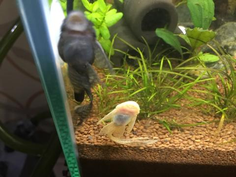 pleco, brushmouth longfin, panamense, red lizard