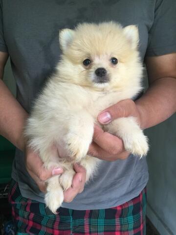 minipom jantan puppy (cream)