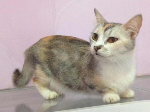 Kucing Munchikin Kucing Ceper