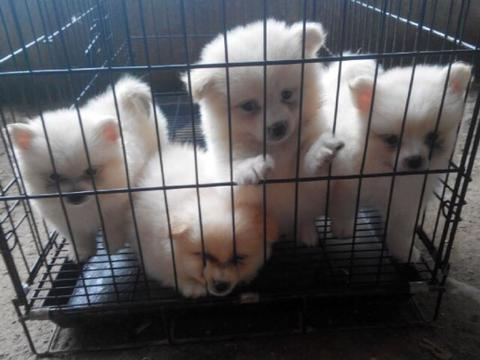 minipom putih puppies