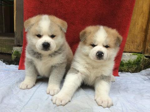 japanese akita (hachiko) puppies