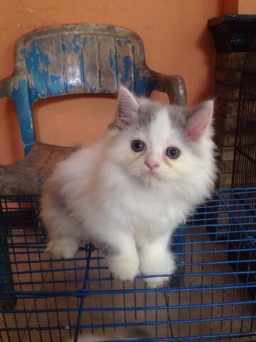 Jual Kitten Persia
