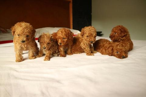 (red dan apricot) mini/teacup tiny poodle toy poodle