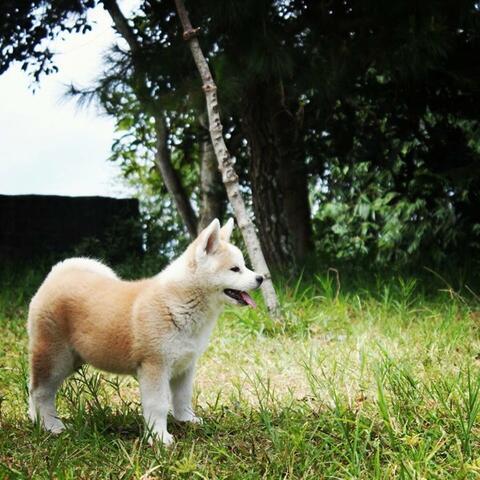 japanese akita puppies