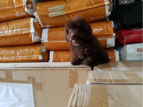 choco toy poodle jantan puppies