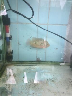 ikan Louhan kamfa Ori thai