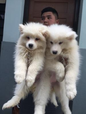 samoyed betina puppies bigbone