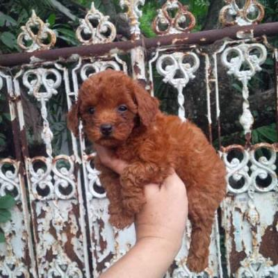 red toy poodle betina puppies HQ