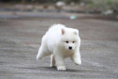 samoyed puppies bigbone bigsize