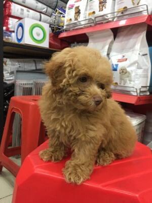 Dijual cepat Anjing Poodle (BISA NEGO)