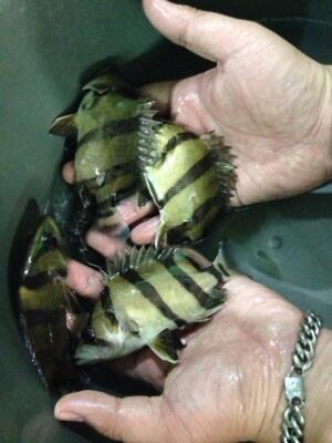 Datz tiger fish / NTT /NGT / IT