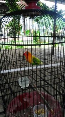 Burung cantik Lakbet
