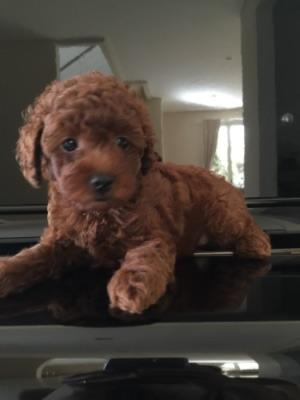 anjing red toy poodle female