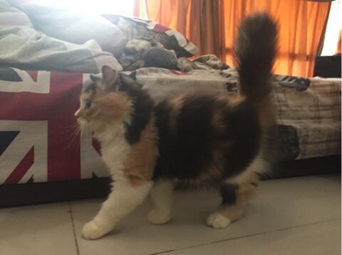 WTS kucing kitten persia longhair