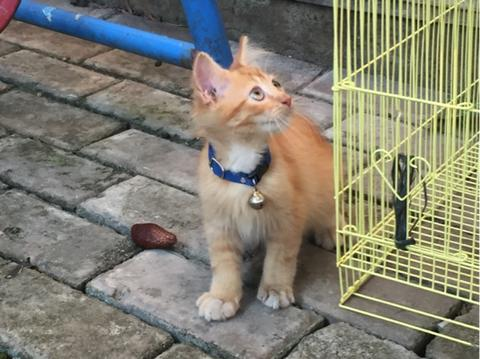 Kitten Persia