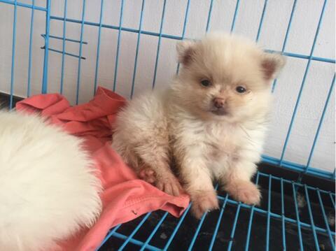 minipom jantan putih puppies
