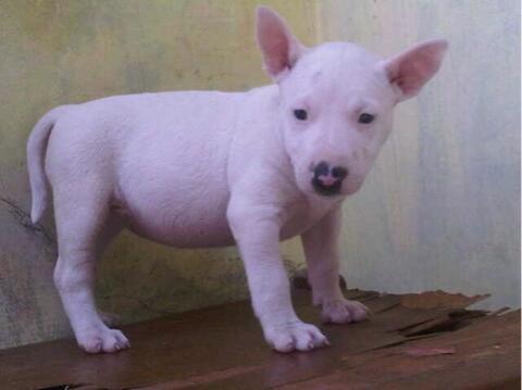 puppies bull terier / teril
