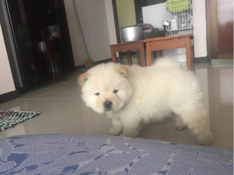 chow-chow putih betina puppies