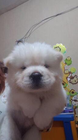 anakan chowchow betina puppies