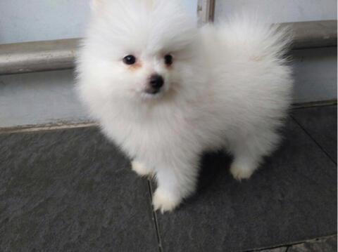 minipom jantan snowhite puppies