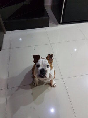 english bulldog jantan 4 bulan stb