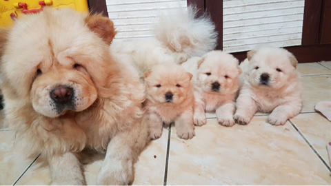 puppies chow-chow jantan stb vaksin