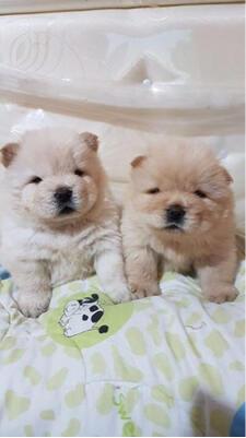 chow-chow jantan puppies