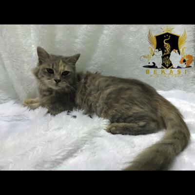 Download 100+  Gambar Kucing Jenis Persia Medium Paling Keren HD