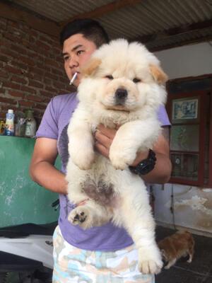chow-chow jantan puppies bigbone bigsize