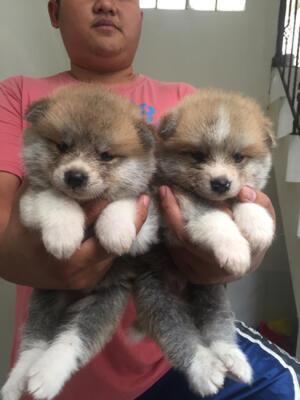puppies japanese akita good quality