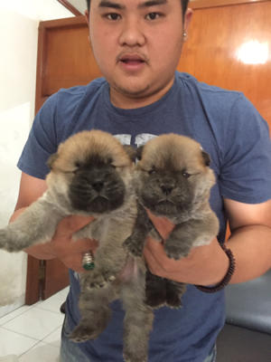 chow-chow cokelat puppies