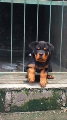 rottweiler puppies anakan import super high quality