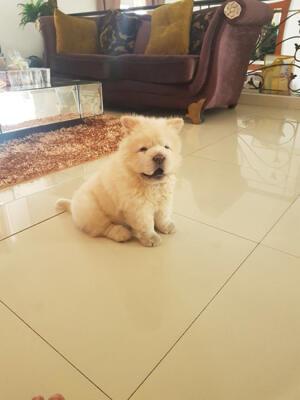 chow-chow betina puppies