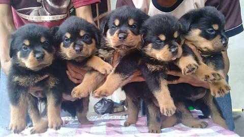 rottweiler puppies (jantan) top quality