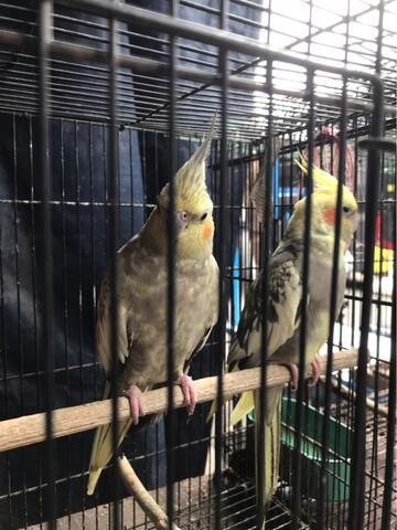 burung kakatua mini / COCKATIEL