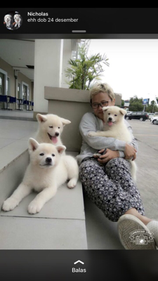 white japanese akita inu puppies